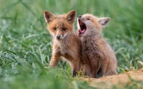 Картинка малыши, лисица, зевок, лисенок