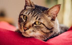 Картинка кот, взгляд, мордочка