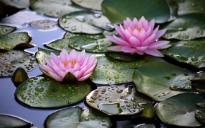 Картинка вода, капли, цветы, розовый, водяные лилии