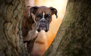 Картинка взгляд, морда, дерево, собака, Боксёр