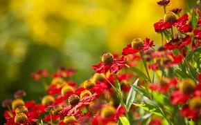 Картинка лето, цветы, природа, Эхинацея