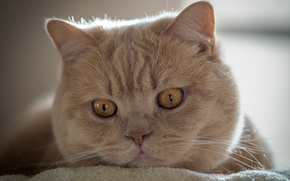 Картинка кот, взгляд, мордочка, котэ, Британская короткошёрстная кошка