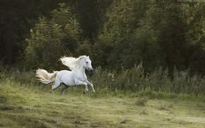 Обои лес, белый, движение, конь, лошадь, скорость, жеребец, луг, бег, грива, скачет, галоп