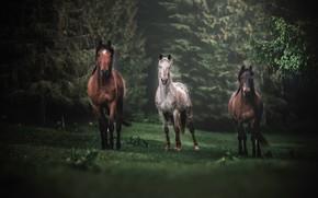 Обои лес, поляна, кони, лошади, трио, троица