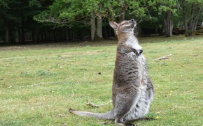 Картинка трава, луг, кенгуру, спит, сидит, сидя