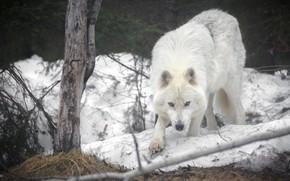 Картинка снег, волк, хищник, Мелвильский островной волк