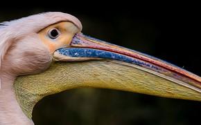 Картинка птица, клюв, пеликан