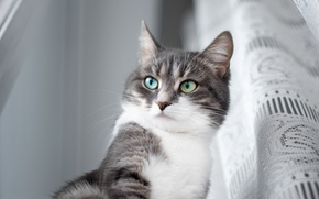 Обои глаза, кот, взгляд, шторка