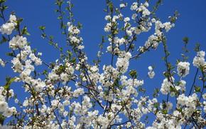 Картинка небо, цветы, ветки, вишня, весна 2018, Meduzanol ©