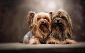 Картинка собаки, портрет, парочка, Йоркширский терьер