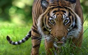 Обои дикая кошка, морда, хищник, тигр, взгляд