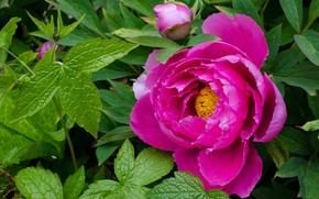 Картинка макро, розовый, пион