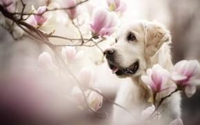 Картинка морда, ветки, магнолия, цветы, портрет, собака