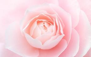 Картинка макро, розовый, нежность, роза, красота, лепестки