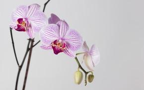 Картинка макро, цветы, обои, Цветок, белый фон, орхидея, фаленопсис
