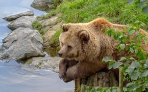 Картинка трава, листья, вода, ветки, природа, камни, животное, пень, хищник, медведь, водоём