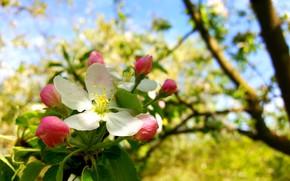 Картинка Весна, Цветение, Цвет яблони, Цветение яблони