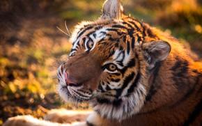 Обои тигр, хищник, морда