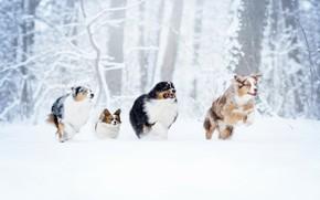 Картинка зима, лес, собаки, снег, прогулка, забег, квартет, Д'Артаньян и три мушкетёра