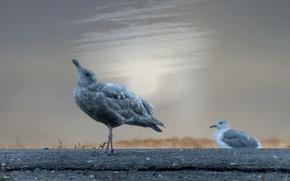 Картинка птицы, природа, howling seagull