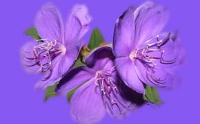 Картинка Fioletowy, Odbicie, Kwiat