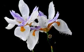 Картинка капли, цветы, роса, лепестки, ирис