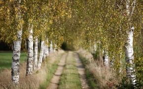 Картинка дорога, осень, берёзы