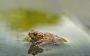 Картинка вода, фон, лягушка