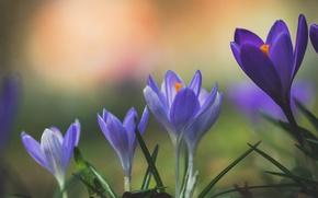 Картинка макро, весна, крокус