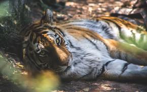 Обои тигр, хищник, блик, кошка