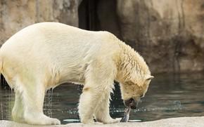 Картинка вода, мокрый, рыба, белый медведь, боке, добыча, улов