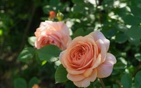 Картинка листья, макро, розы, бутон