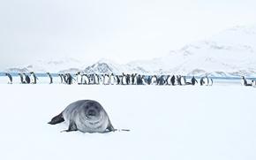 Картинка природа, King Penguins, Seal