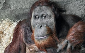 Картинка взгляд, обезьяна, Sumatra Orang-Utan
