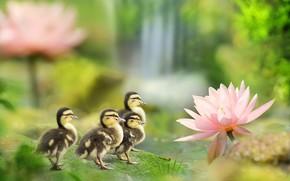 Картинка птицы, пруд, утки, весна, утята, Лотос, фуи Чэнь