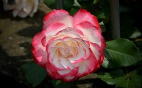 Обои Rose, Роза, Боке, Bokeh