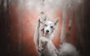 Обои собака, взгляд, Аусси, Австралийская овчарка, деревья, боке, радость, берёзы, осень