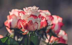 Картинка розы, Букет, Бутоны, roses