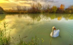 Обои пруд, кусты, природа, птица, травы, лебедь, осень