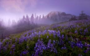 Картинка деревья, пейзаж, цветы, природа, туман, гора, утро, вулкан, США, травы, заповедник, Mount Rainier, Маунт-Рейнир, Doug ...