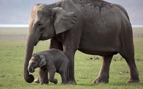 Картинка elephant, mother, young elephant