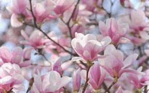Картинка розовый, нежность, красота, весна, цветение, магнолия