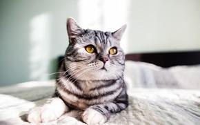 Обои серый, cat, серый кот, gray, yellow eyes, желтые глаза, кот