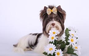 Картинка цветы, бантик, порода, биро-йорк
