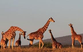 Картинка солнце, закат, природа, вечер, жирафы