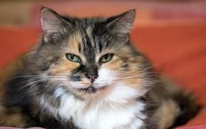 Картинка кошка, кот, взгляд, портрет