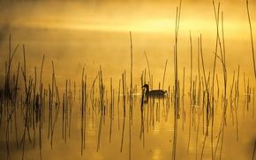 Картинка туман, озеро, утро, утка