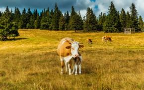 Картинка поле, лес, трава, солнце, деревья, природа, Германия, коровы, Cologne