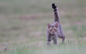 Обои кот, хвост трубой, боке, взгляд, кошка