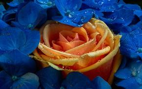 Картинка капли, макро, роза, бутон, цветки, гортензия, жёлтая роза